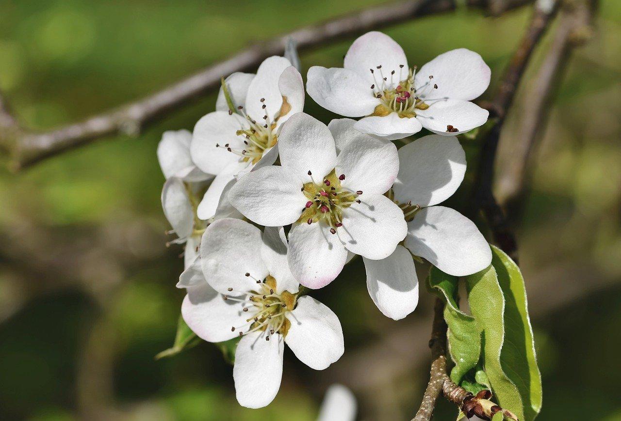 鉢植え桜桃の異変