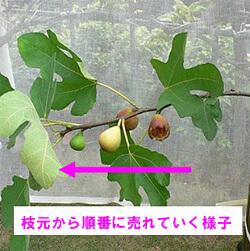 イチジクの取木