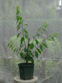 鉢植え果樹の新梢処理(スモモ)