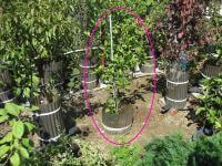 みかんの木の移植(植え付け)