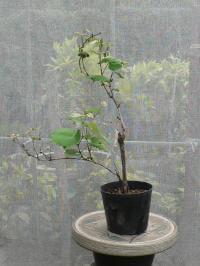 ブドウの鉢栽培