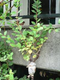 モモとユスラウメの接木