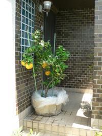 鉢植えミカンの摘蕾