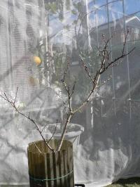 モモの樹形小型化