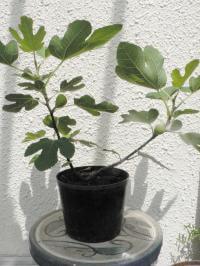 イチジクを育てよう|取木で発根【図解】