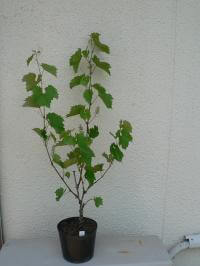 鉢植えブドウの誘引
