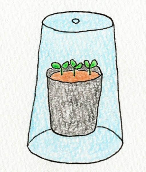 リーフレタスの種をまいたビニールポットにプラスティックコップをかぶせる