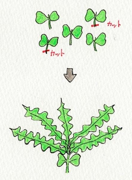 ダイコン(大根)の袋栽培。間引きをする。