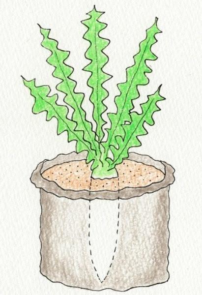 ダイコン(大根)の袋栽培。