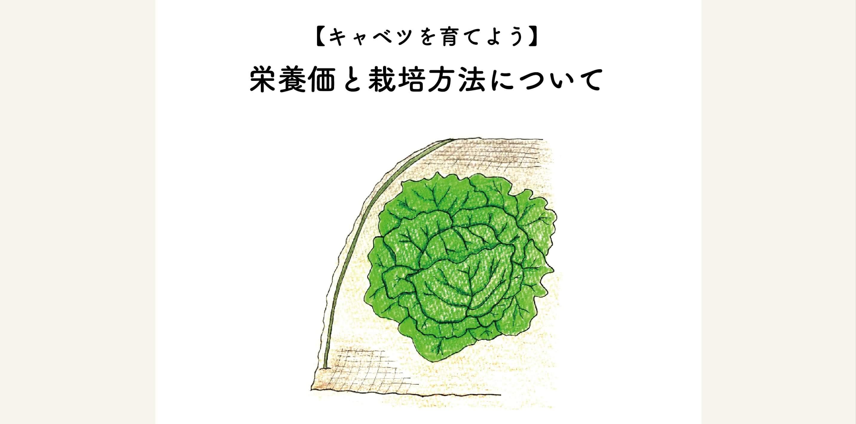 【キャベツを育てよう】栄養価と栽培方法について