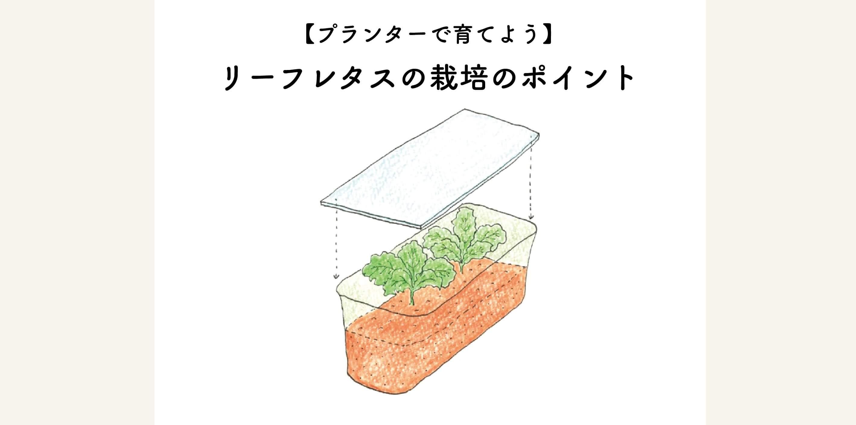【プランターで育てよう】リーフレタスの栽培方法と水やりのポイント