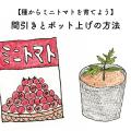 トマトを種から育てよう