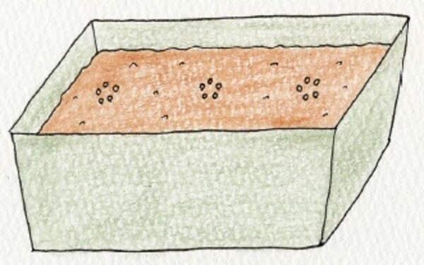 空芯菜(クウシンサイ)の種まき