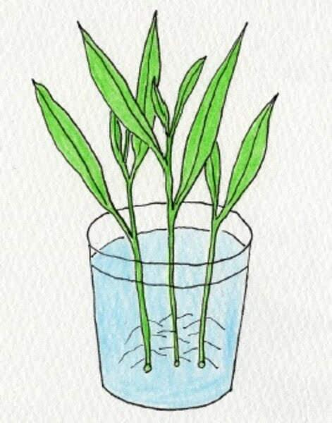 空芯菜(クウシンサイ)の苗をコップに入れる