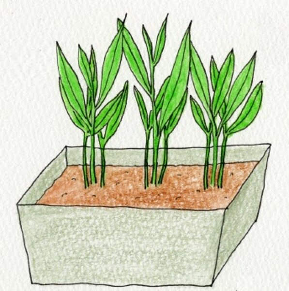空芯菜(クウシンサイ)の苗