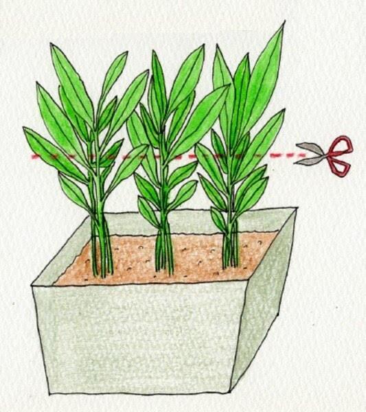 空芯菜(クウシンサイ)の収穫