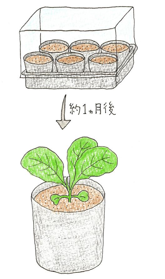 ミニ温室で発芽させる菜の花