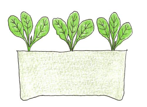 菜の花の苗の定植
