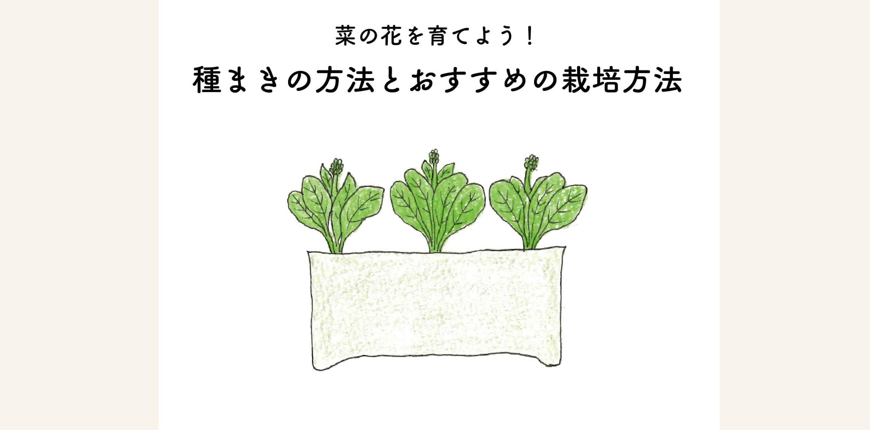 【菜の花を育てよう】種まきの方法とオススメの栽培方法