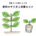 青ジソの育て方!肥料のやり方と収穫のコツ
