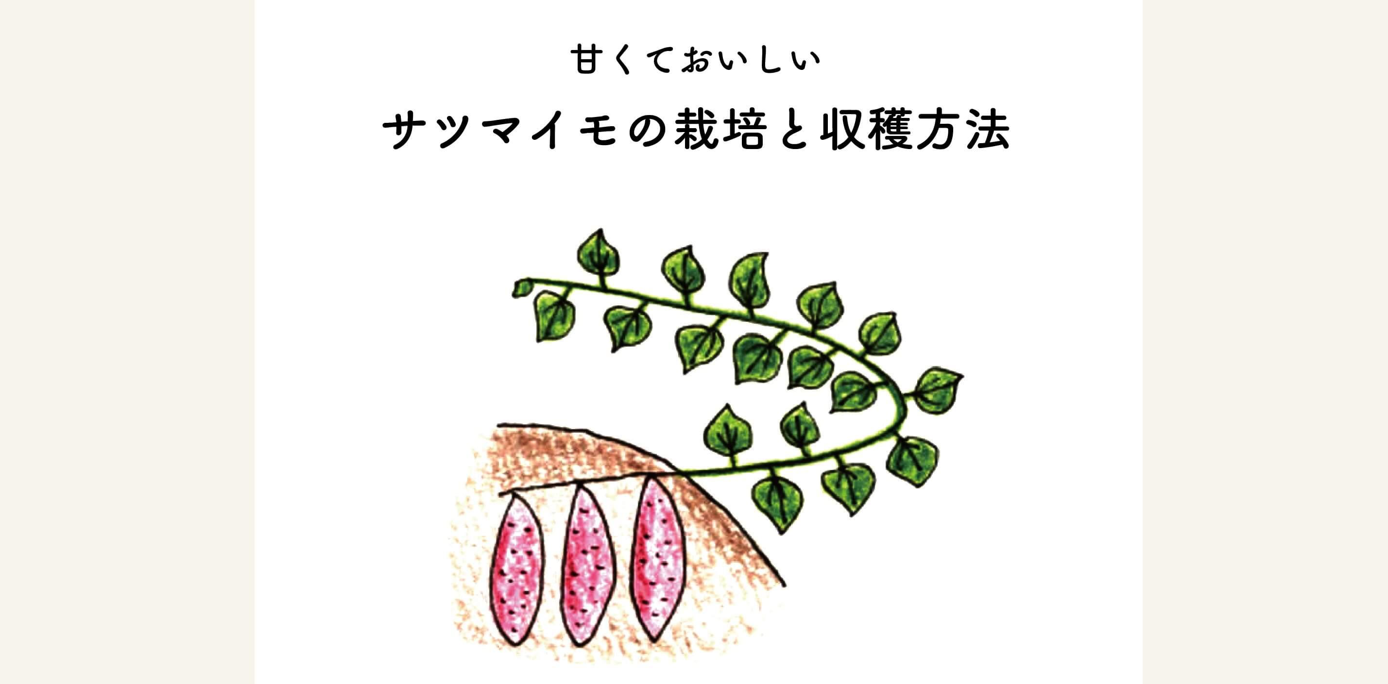 育て さつま芋 方 の