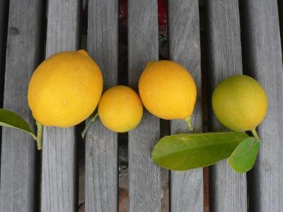 レモンの苗木の手入れ