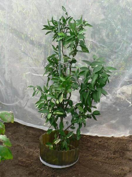 柑橘の移植準備と植え付け 温州ミカンの根回し