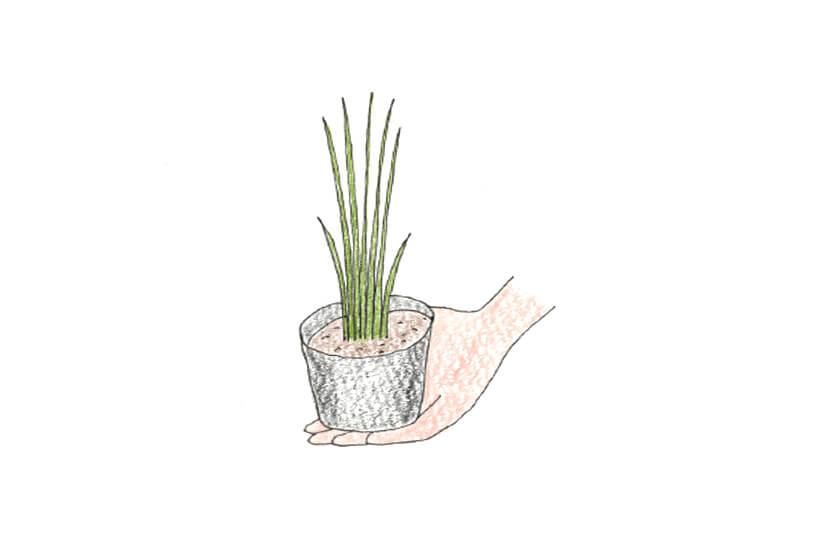 チャイブの苗のイラスト