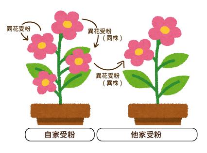 レモン・ブルーベリーを鉢植えで育てよう(ブルーベリー・受粉の仕組み)