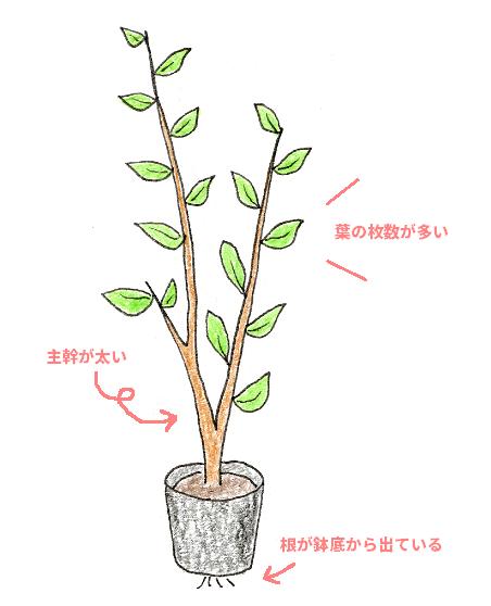 レモン・ブルーベリーを鉢植えで育てよう(ブルーベリー・苗木の選び方)