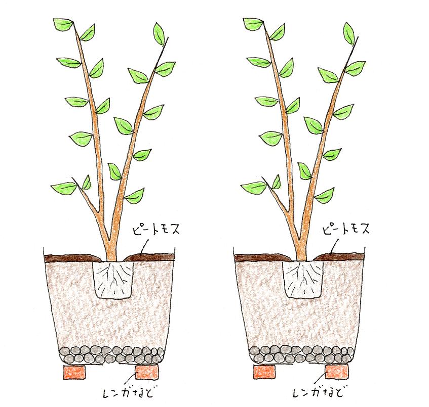 レモン・ブルーベリーを鉢植えで育てよう(ブルーベリー・植え付け方)