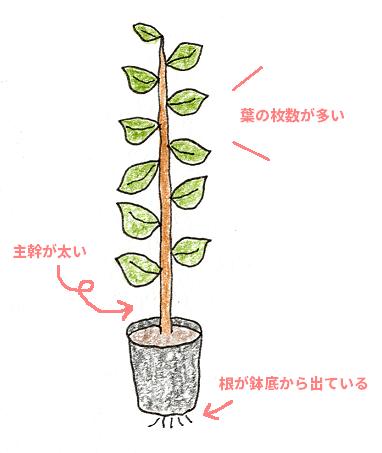レモン・ブルーベリーを鉢植えで育てよう(レモン・苗木の選び方)