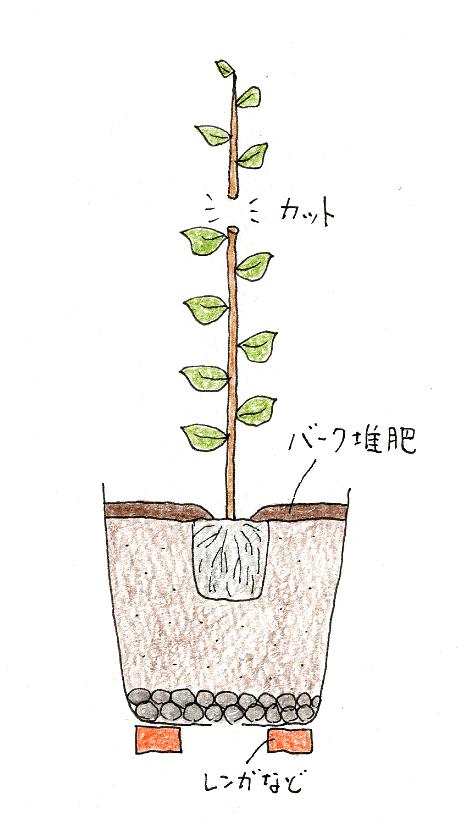 レモン・ブルーベリーを鉢植えで育てよう(レモン・植え付け方)