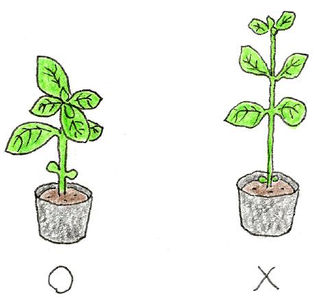 バジルの苗の選び方のイラスト