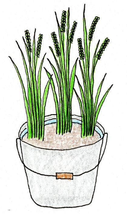 ベランダでできる、バケツ稲の育て方(水の調整)