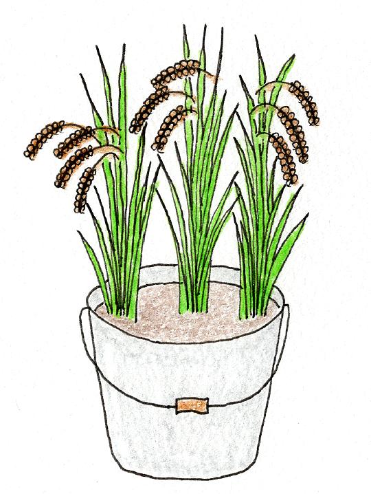 バケツ稲の育て方 ~稲刈りとカンタン脱穀~ バケツ稲のイラスト
