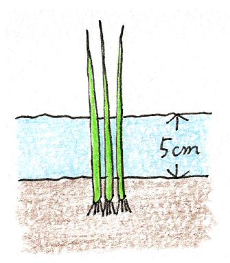 ベランダでできる、バケツ稲の育て方(稲の植え付け1)
