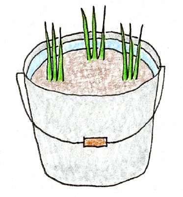 ベランダでできる、バケツ稲の育て方(稲の植え付け3)