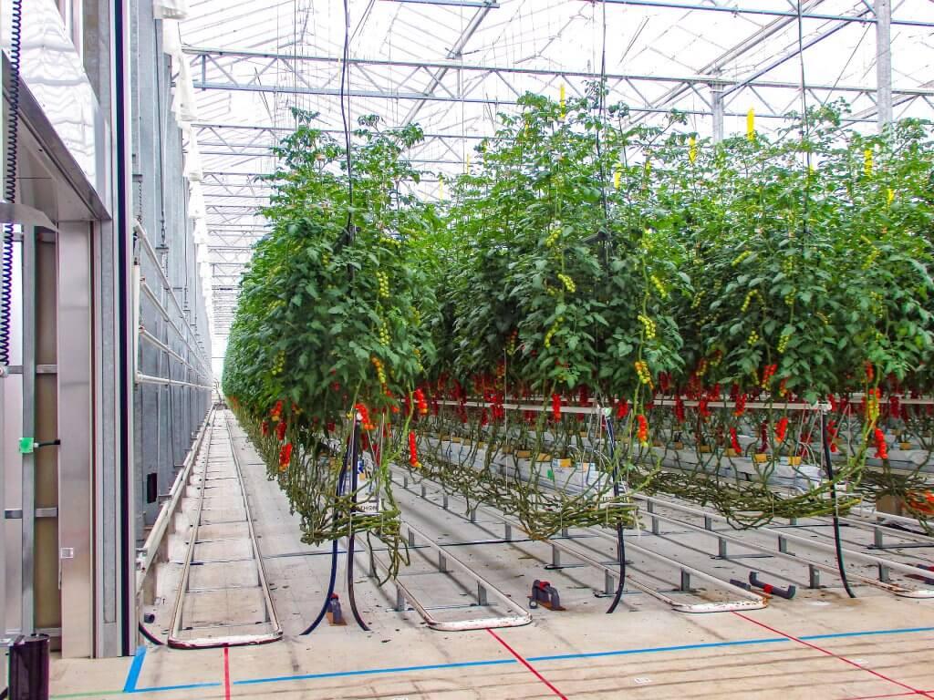 アグリッドのミニトマトの大規模ハウス02