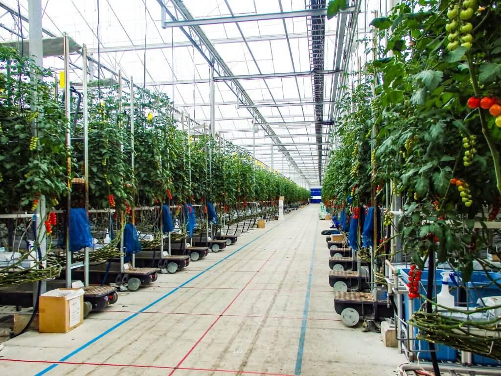 アグリッドのミニトマトの大規模ハウス01