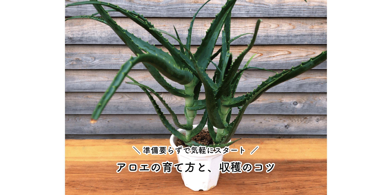 アロエの育て方や収穫のコツ|鉢や土の準備いらずで気軽にスタート