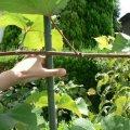 ブドウの取木