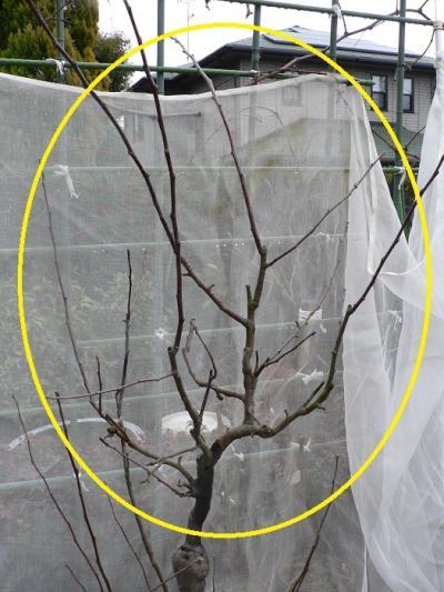 ふじ(リンゴの品種)の枝