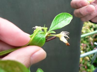 スモモの摘蕾と摘芯