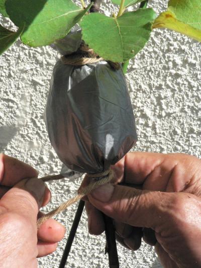 環状剥皮して水苔で包んだイチジクの苗をビニールで遮光する