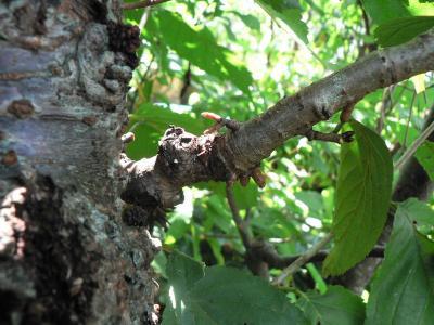 発根したユスラウメの枝