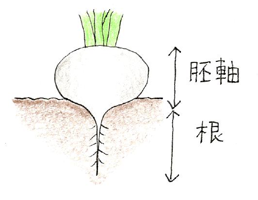 ラディッシュ(二十日大根)と小カブをベランダで育てよう_小カブの胚軸と根の説明