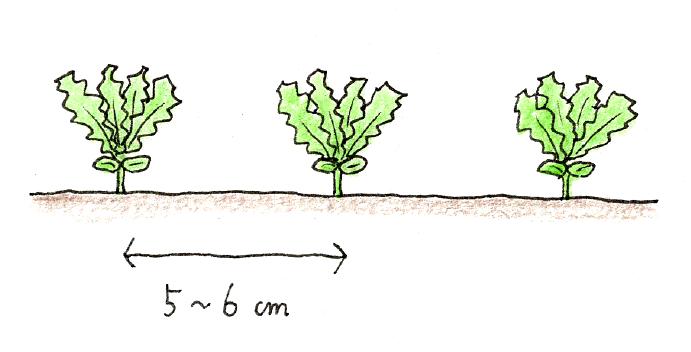 ラディッシュ(二十日大根)と小カブをベランダで育てよう_小カブの間引きと追肥