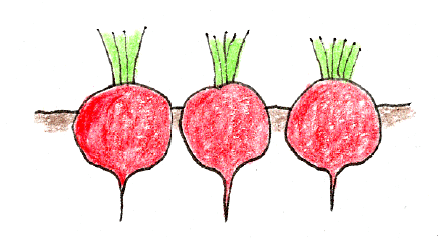 ラディッシュ(二十日大根)と小カブをベランダで育てよう_収穫と保管