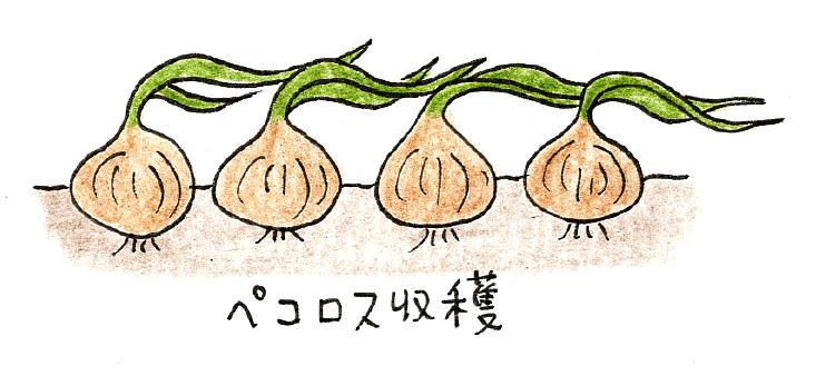ミニ玉ネギ(ペコロス)の収穫
